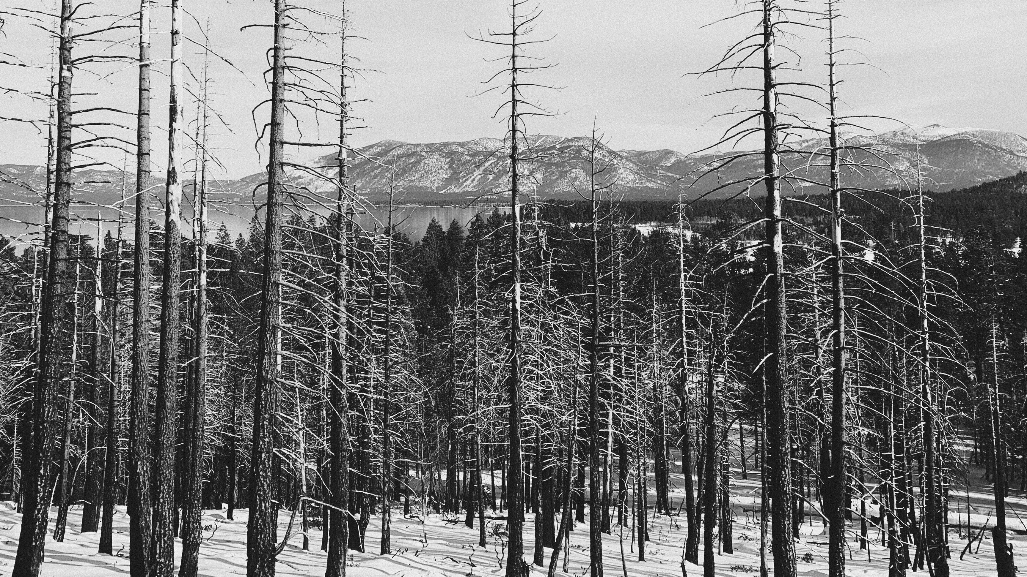 Trees near Lake Tahoe